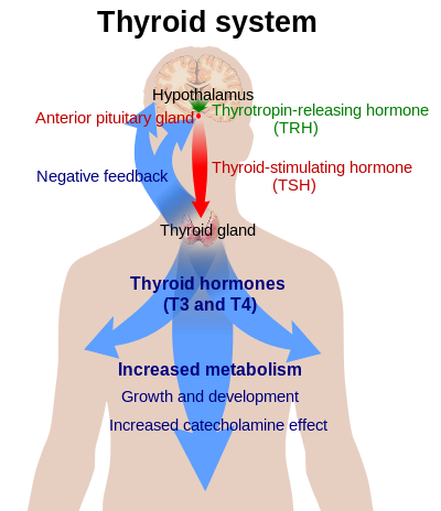 2.Thyroid_system