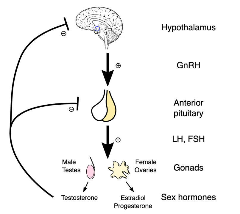4.Hypothalamus_and_hormones